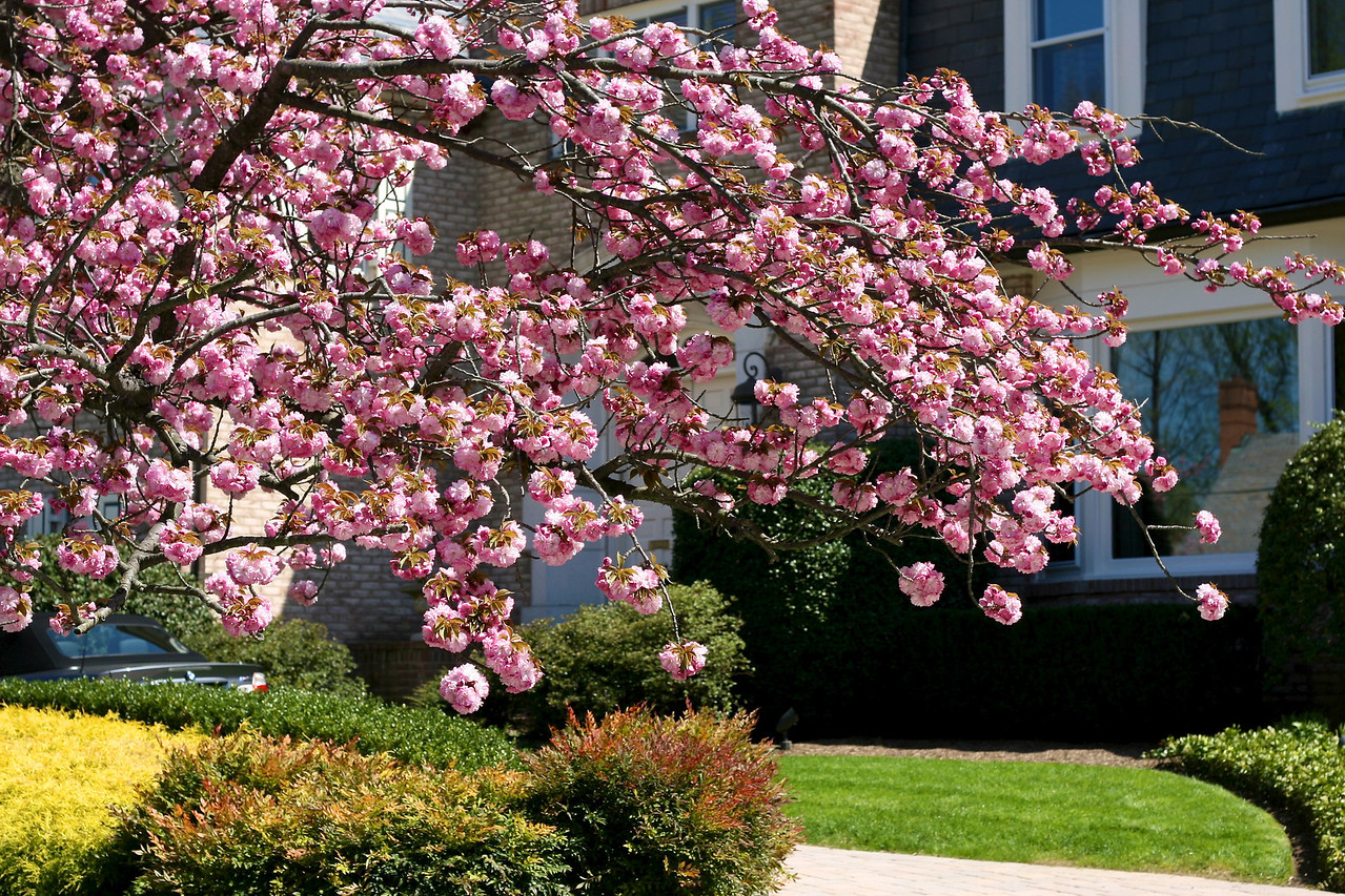 Cherry trees are much more mature than I remember, and they were in full bloom.