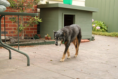 Jess - our old dog