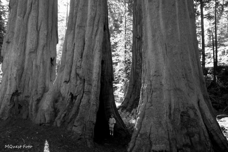 Sequoia National Park - Huge Sequoia tree in perspective (jr)