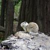 Fat squirrel.