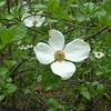 Dogwood blossom -- always pretty.