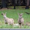 Bucks with velvet antlers.