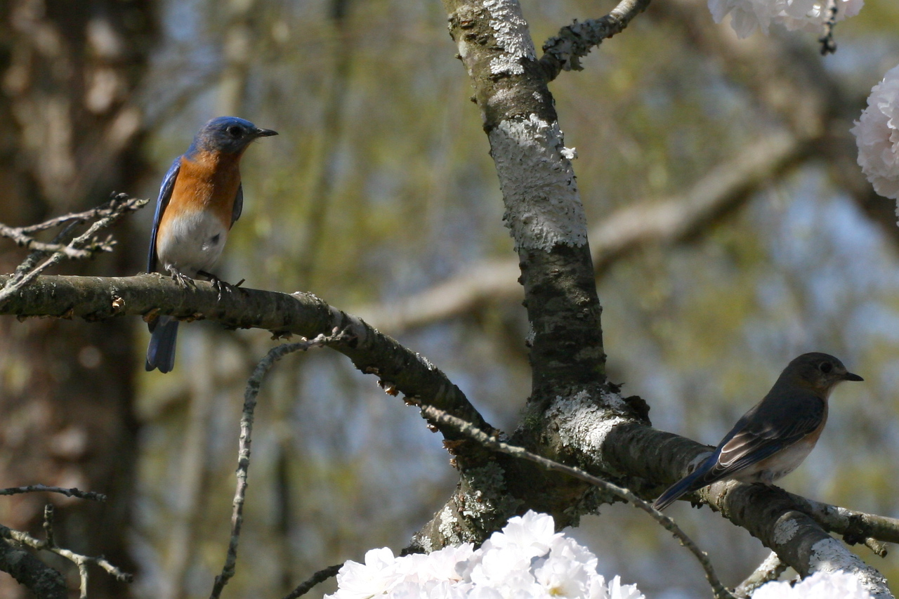 Bluebird couple in a cherry tree