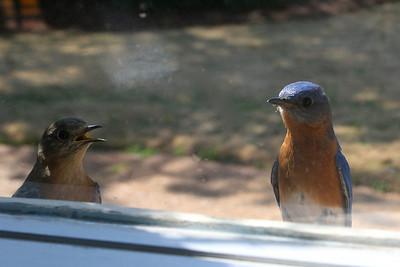 Bluebird couple through the window