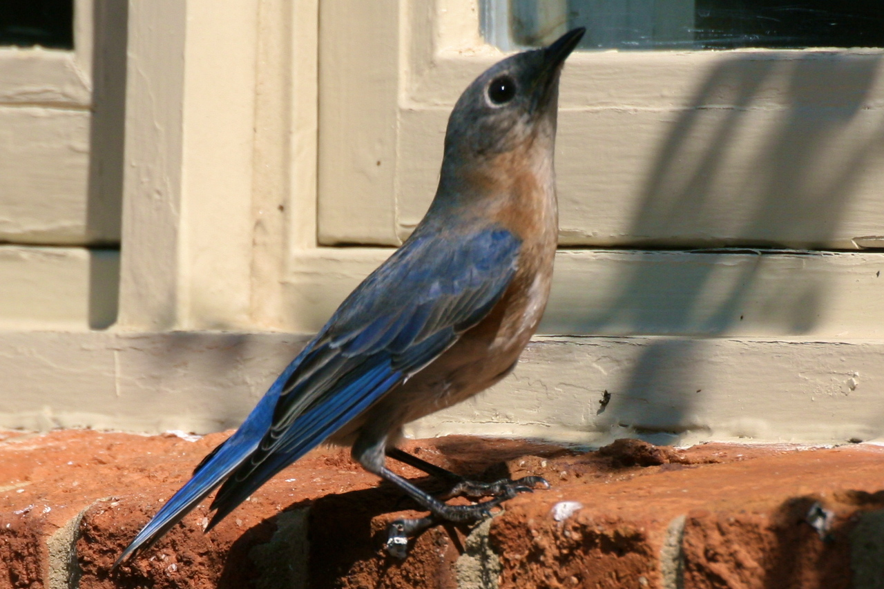Mommy Bluebird on the sill
