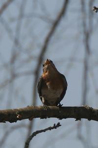 Momma bluebird in a tree