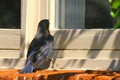Mommy bluebird wants in!