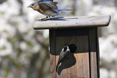 Here is the problem:  This chickadee has already made a nest in the house the bluebirds used last year