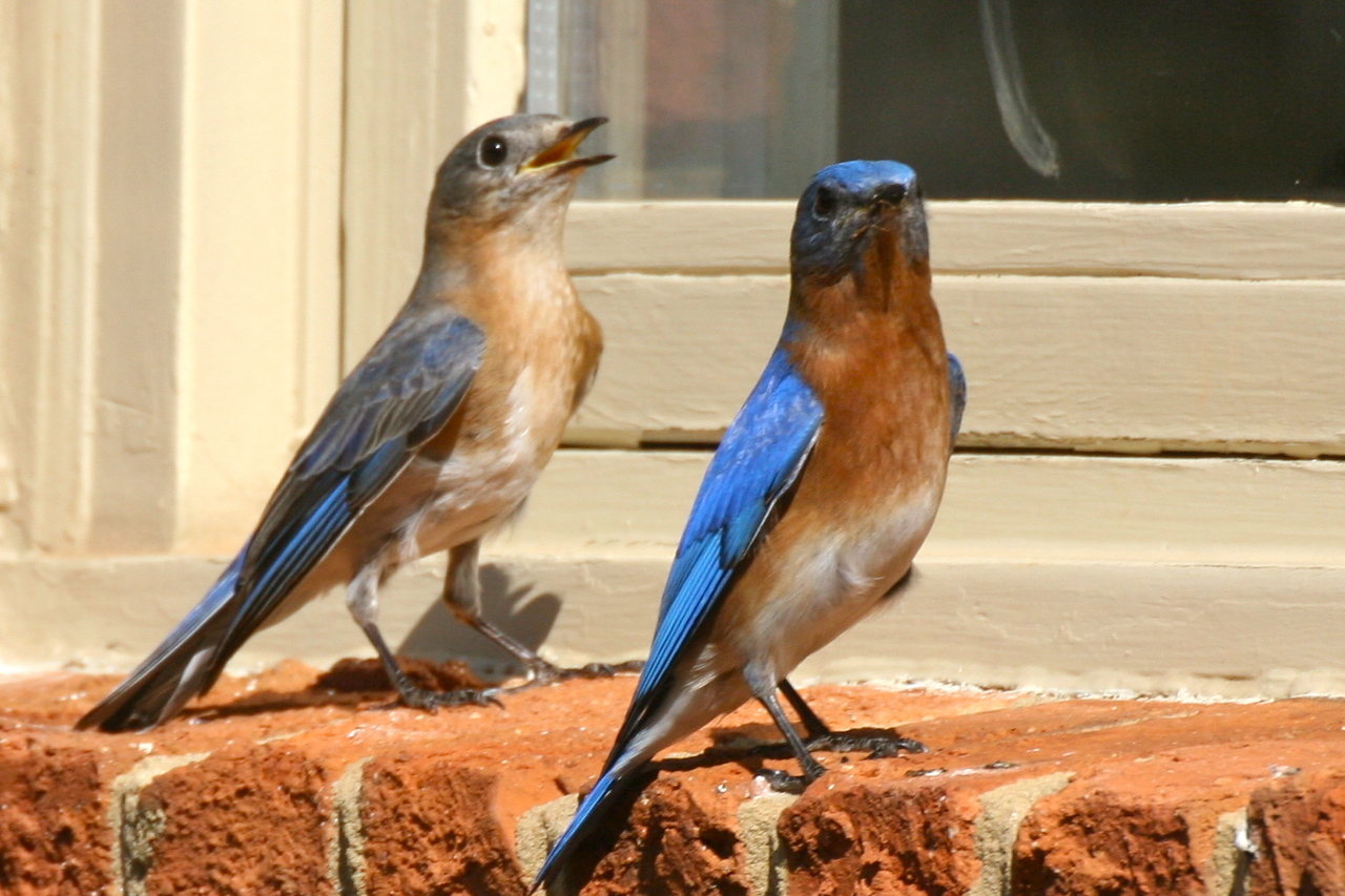 Bluebird couple on our windowsill