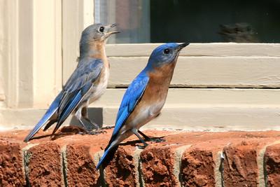 Bluebird couple wants in!