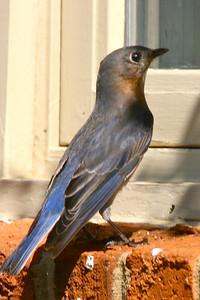 Mommy bluebird id beautiful, too