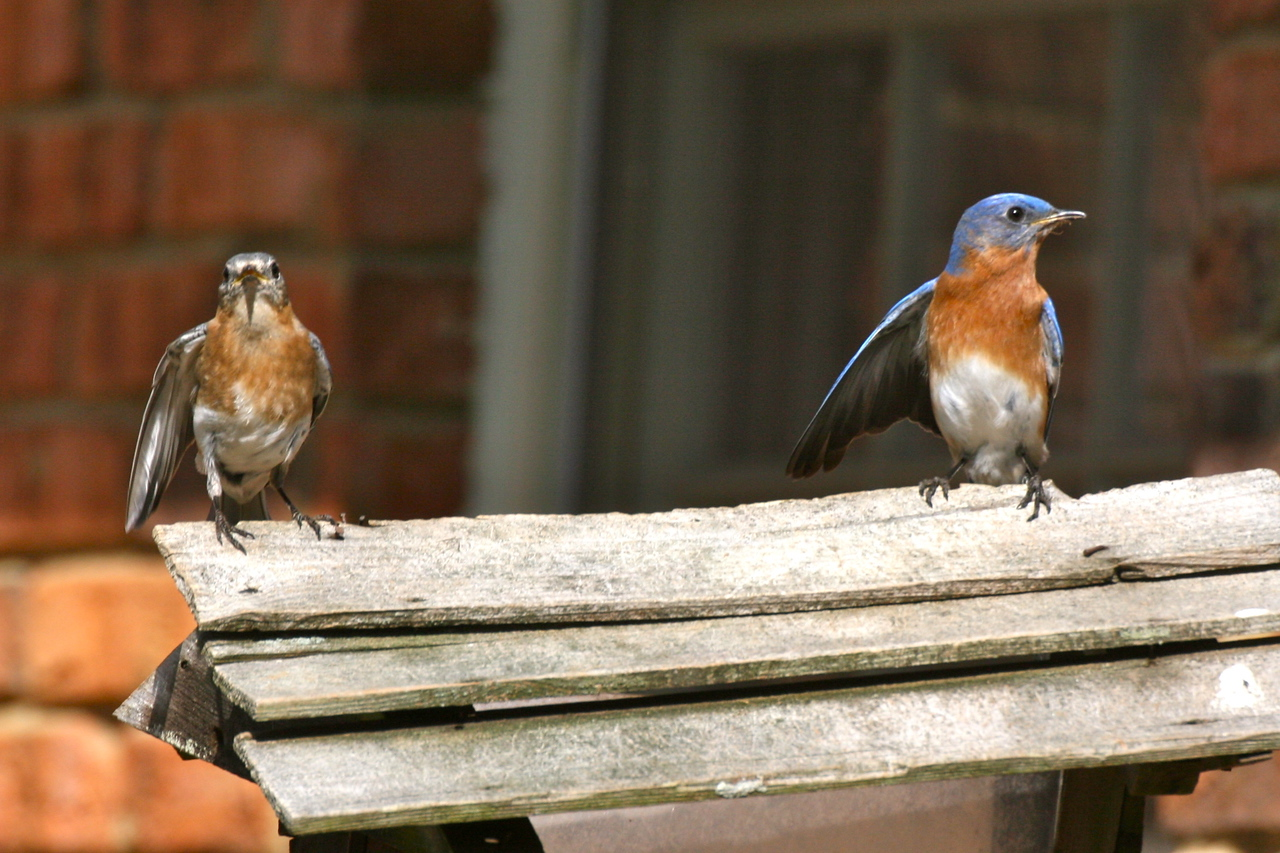 Bluebird couple looking for a home