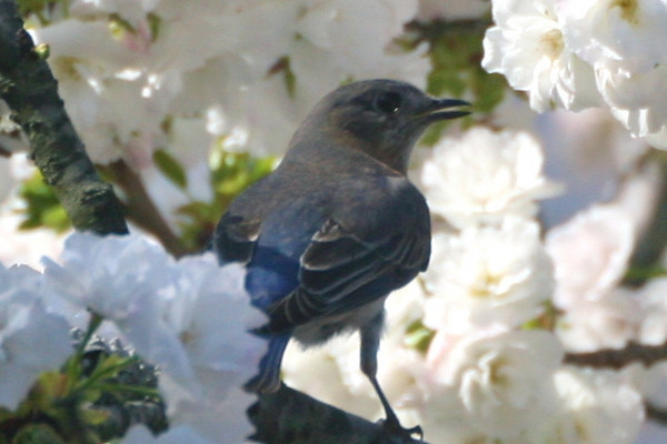 Momma bluebird in a cherry tree