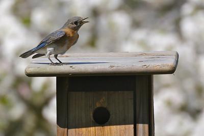 "Momma chickadee is inside, while Momma bluebird sings the ""blues"""