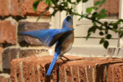 Daddy bluebird about to attack our kitchen window