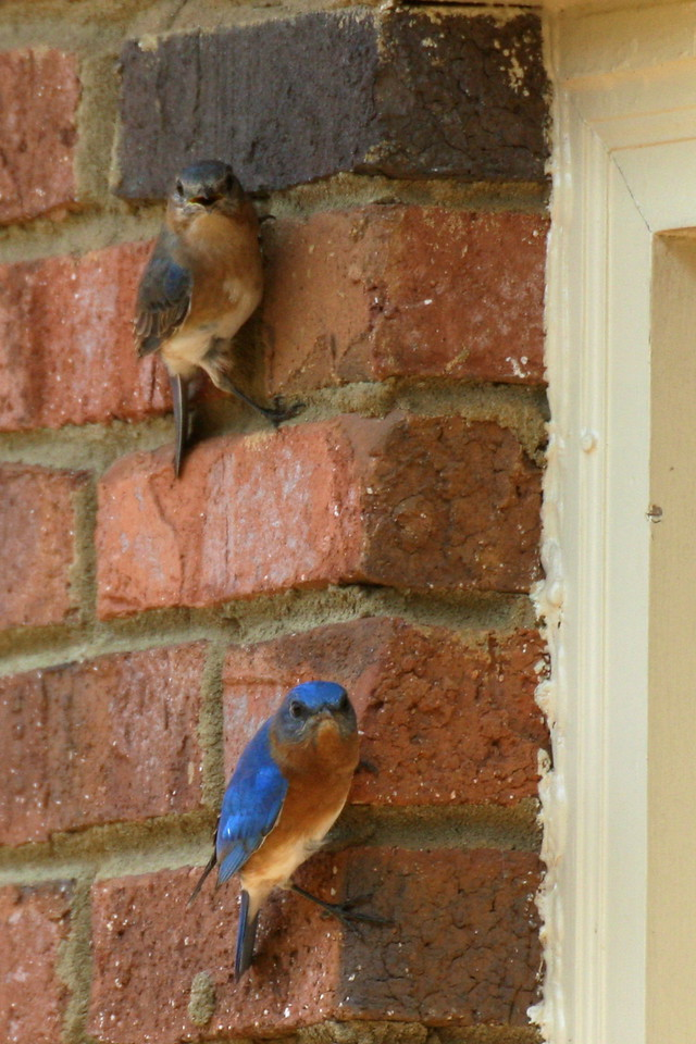 Bluebird couple outside our kitchen window