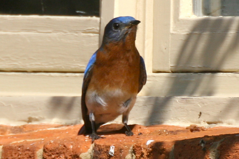Daddy bluebird on the windowsil