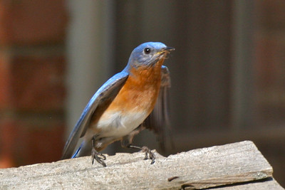 Daddy bluebird looking for a home