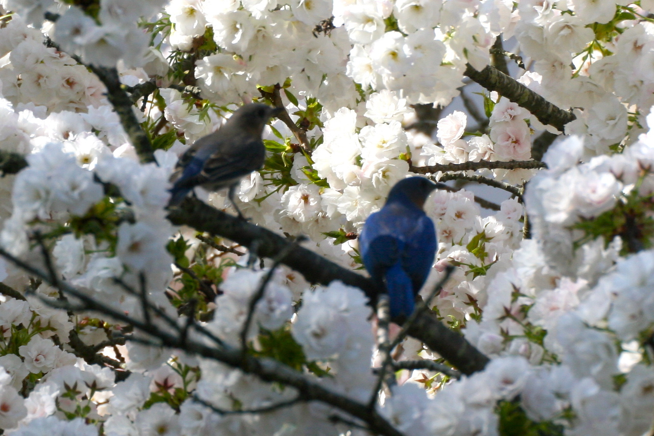 Our couple regroups in a nearby cherry tree