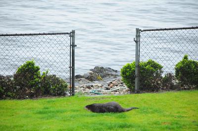Otter in yard 4-21-10