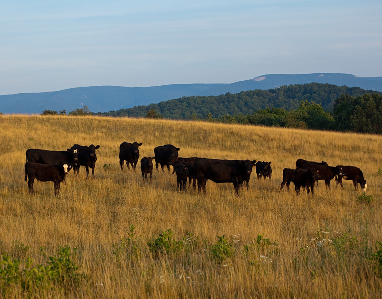 Cows in the Valley