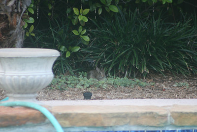 Our visitor in the backyard again.