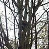 A raccoon up the maple tree