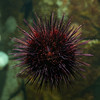 Urchin 2,  (Shaw Ocean Discovery Centre, Sidney, BC)
