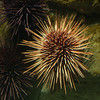 Urchin 1,  (Shaw Ocean Discovery Centre, Sidney, BC)