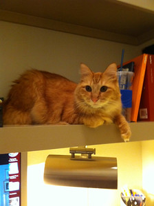 Morgan Bellmor's Cat Fuzzy Over His Desk In His Houston Apartment December 2011