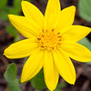 Yellow Mountain Daisy