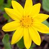 Yellow Mountain Daisy