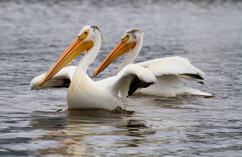 A set of Great American White Pelicans