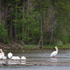 Great American White Pelicans at Shadow Mountain Reservoir, Grand Lake CO