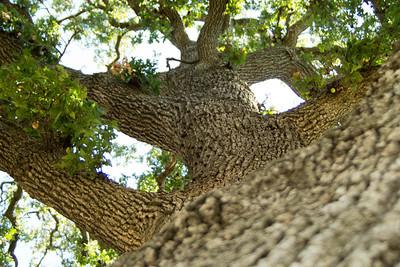 Mighty Oak of Northwoods Park