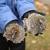 Wasp nest taken apart