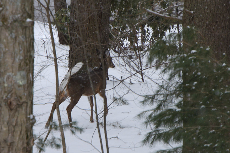 Deer at our backyard