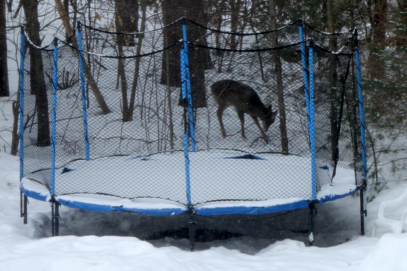 Deers in our backyard