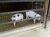 may_2011_pt3_farm_animals_02
