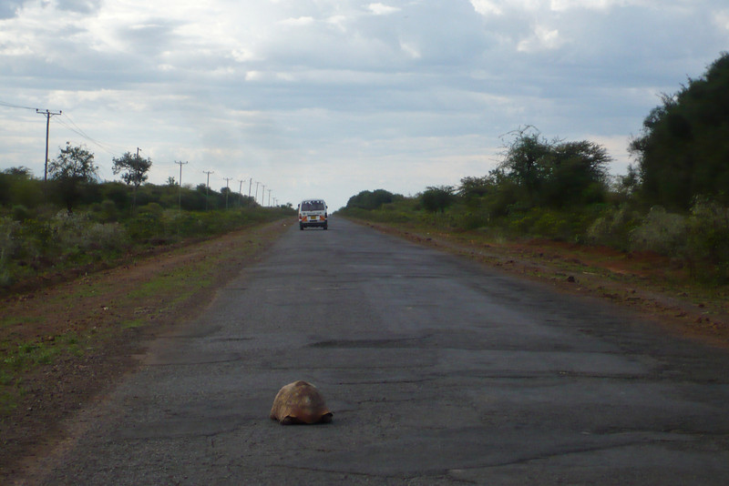 """The road from Nakuru north to Baringo... with a tortoise in the middle. This is the same road where we picked up Kobe almost 30 years earlier. Actually Erin and I saw numerous tortoises on the road and even a road sign that said """"caution - tortoise crossing"""" - I wish I had gotten a picture!"""