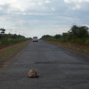 "The road from Nakuru north to Baringo... with a tortoise in the middle. This is the same road where we picked up Kobe almost 30 years earlier. Actually Erin and I saw numerous tortoises on the road and even a road sign that said ""caution - tortoise crossing"" - I wish I had gotten a picture!"