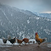 Desi chickens in the snow...