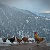 Desi chickens in the snow...