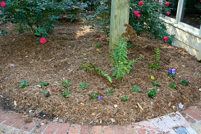After -Dee started some perennials to fill out the rose garden.