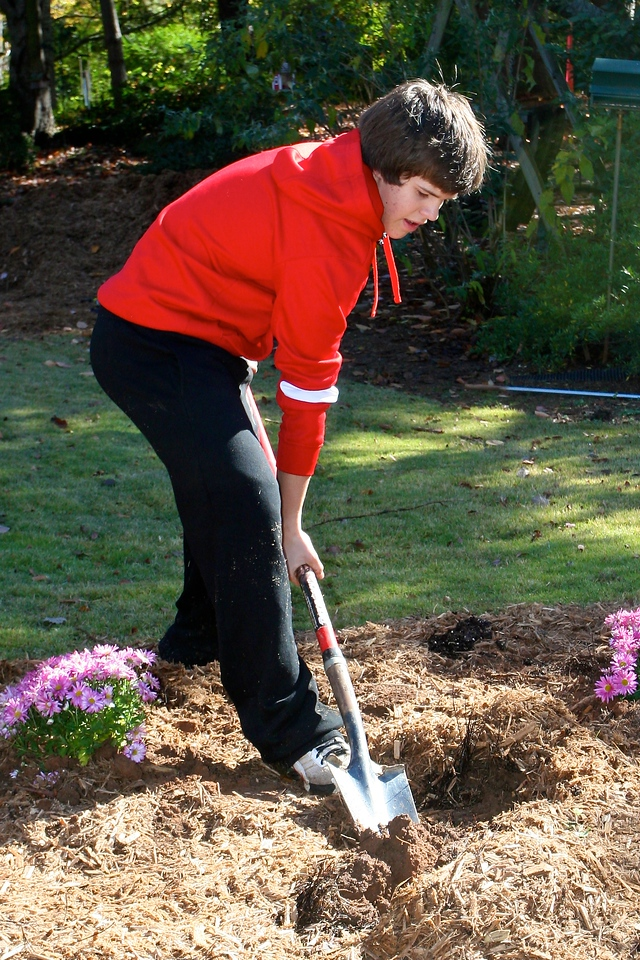 Andrew planting mums in the driveway garden