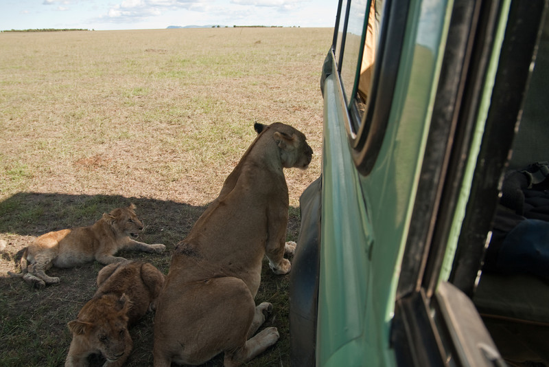 I'd never seen lions this close! That lioness was huge.