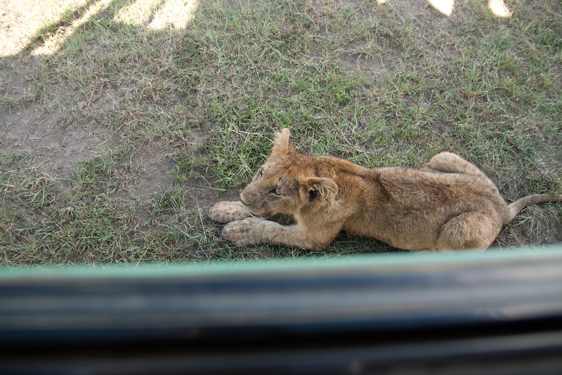 This cub was right under my window.  (In the foreground is the windowsill.)
