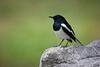 Oriental Magpie Robin, Lumphini Park