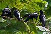 Large-billed Crows, Lumphini Park