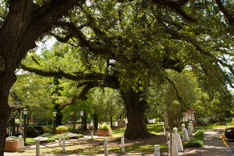 "The Evangeline Oak., in St Martinville, Louisianna. Longfellow's poem ""Evangeline"" immortalized the tragedy of the Acadian exile from Nova Scotia in 1755. This oak marks the leendary mettting place of Emmeline Labiche & Louis Arceneaux, the counterparts of Evangeline & Gabriel."